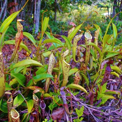 17. Nepenthes stenophylla (34) (FILEminimizer)