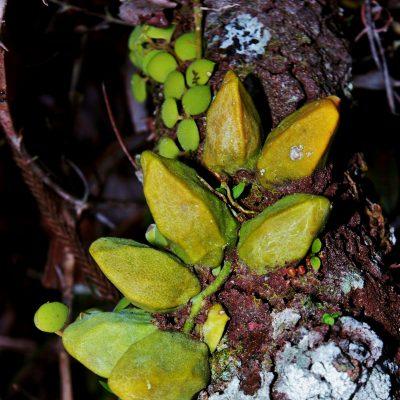 4. Dischidia rafflesiana
