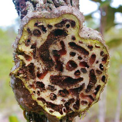 Hydnophytum formicarium_section (10)