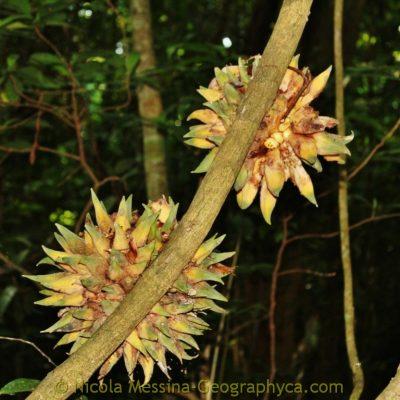 Phytocrene bractetata (Icacinaceae) (7) (FILEminimizer)