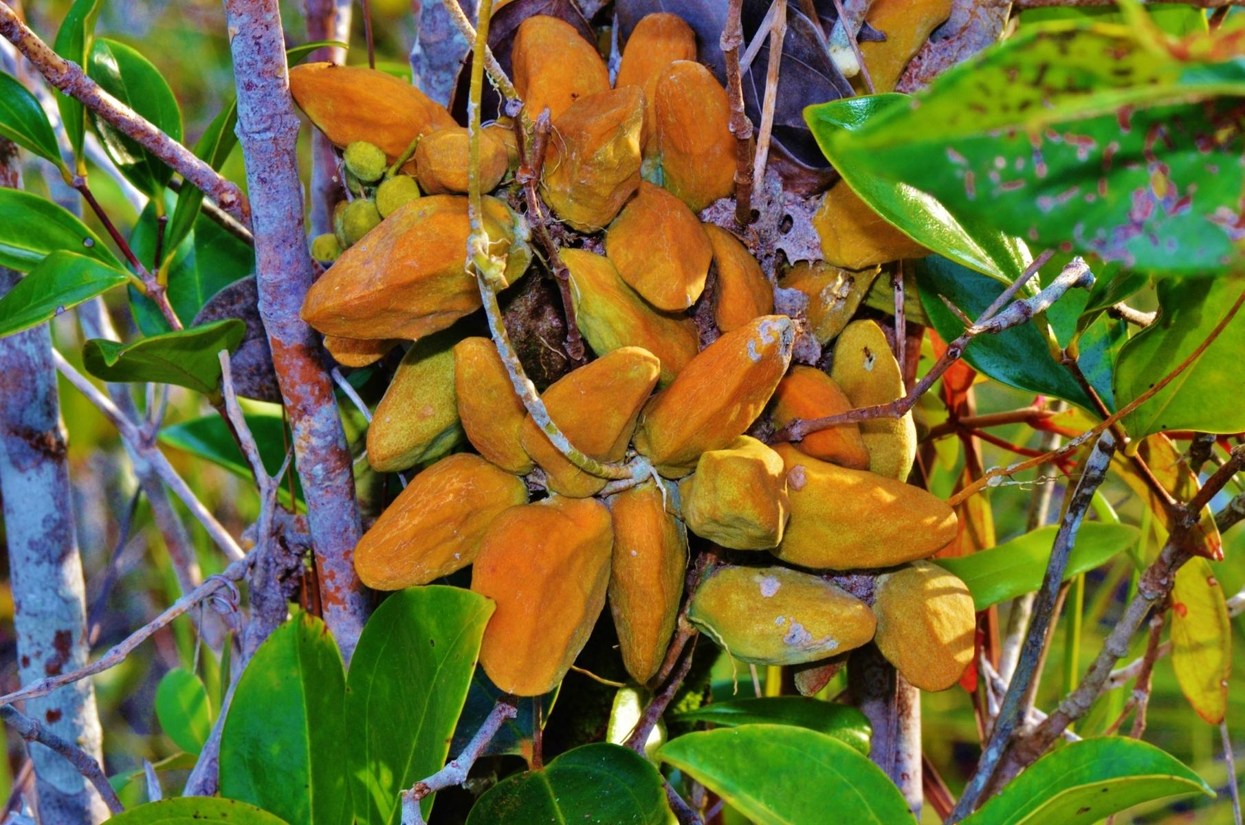 Dischidia rafflesiana, Sarawak