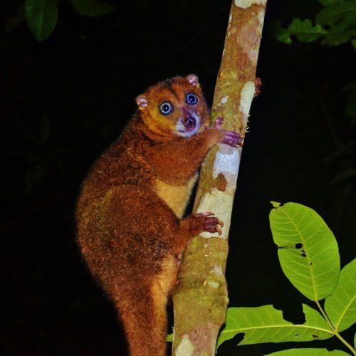 Cuscus ornatus, Halmahera