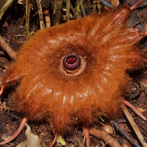 Rhyzanthes infanticida, Sumatra